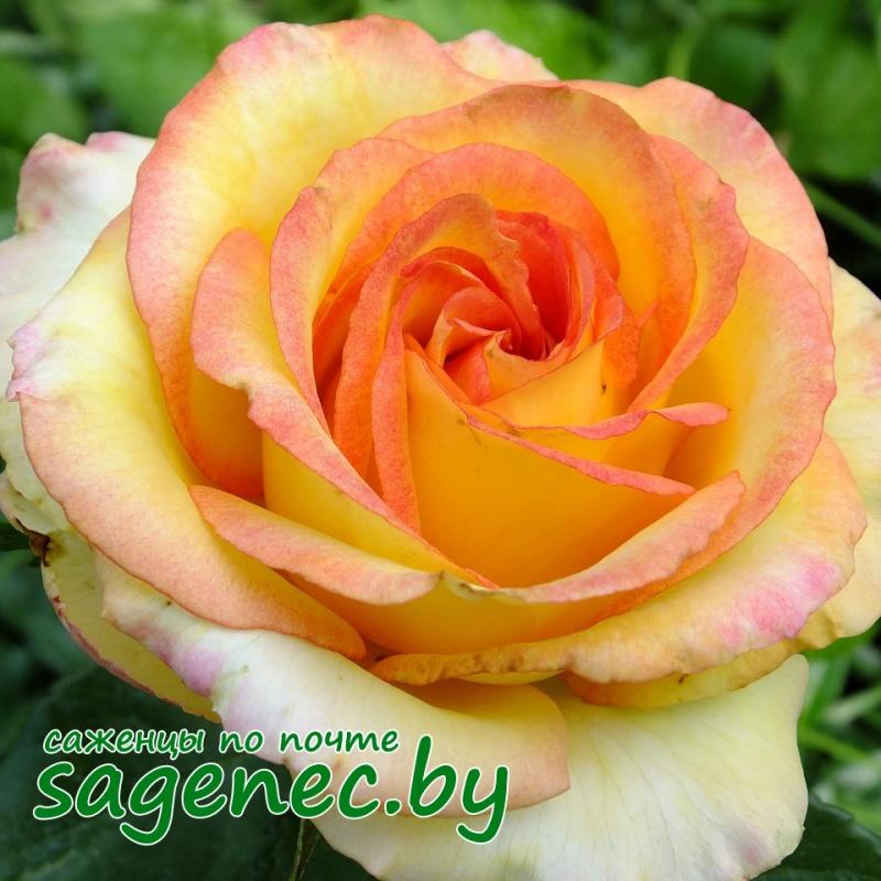 Купить розы почтой беларусь