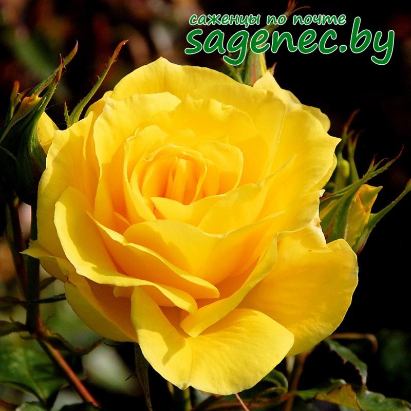Купить саженцы розы почтой беларусь дешево