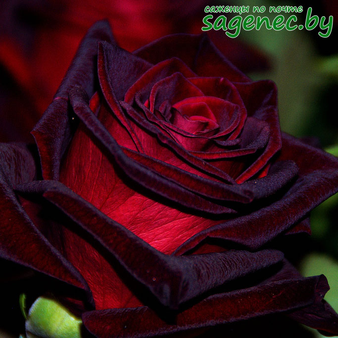 Роза BlackMagic | Саженцы почтой