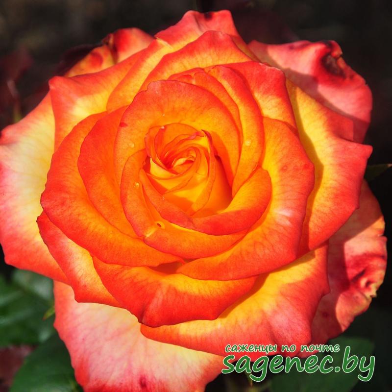 Роза HighMagic | Саженцы почтой