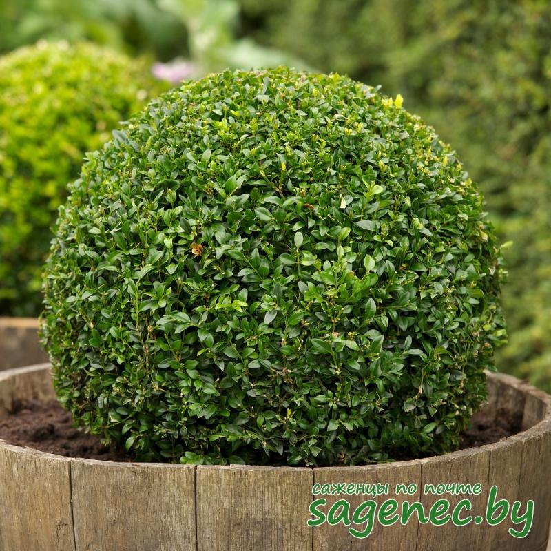 Самшит вечнозелёный | Саженцы почтой