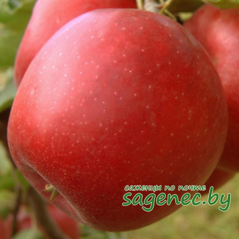 Яблоня Лучезарная | Саженцы почтой